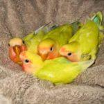 Kumpulan Beragam Aneka Video Beserta Koleksi Panduan Gambar Analisa Perhitungan Untung Rugi Beternak Burung Lovebird Khusus Pemula Terbaru