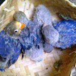 Kumpulan Beragam Jenis Pakan Atau Makanan Beserta Gambar Anakan Lovebird Cobalt Umur 2-3 Bulan Keatas Yang Lucu Serta Gacor Maupun Ngekek Panjang
