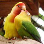 Kumpulan Beragam Gambar Cara Mengatasi Lovebird Blorok Biola Paskun Lutino Josan Jantan Atau Betina Over Birahi Tinggi Di Tangkringan Terbaru Beserta Suara Gacor Atau Ngekek Durasi Panjang Mp3 Dan Harga Termahalnya