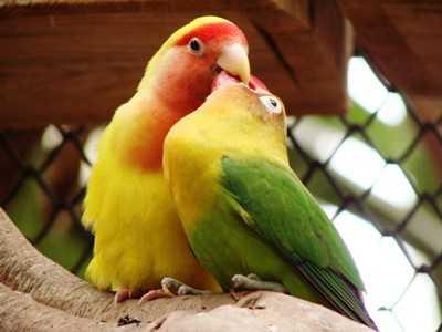 Kumpulan Beragam Suara Dan Juga Gambar Cara Mengatasi Lovebird Jantan Atau Betina Over Birahi Tinggi Di Tangkringan Terbaru