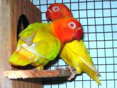 Koleksi Aneka Video Beserta Kumpulan Beragam Gambar Terbaru Cara Agar Loverbird Cepat Bertelur Beserta Pakan Atau Makanan Terbaiknya