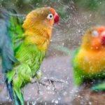 Kumpulan Gambar Cara Memandikan Burung Lovebird Terbaru Beserta Suara Gacor Atau Ngekek Durasi Panjang Mp3 Dan Harga Termahalnya