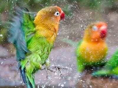 Koleksi Suara Dan Gambar Ritual Cara Memandikan Burung Lovebird Agar Gacor Dan Ngekek Panjang Terbaru