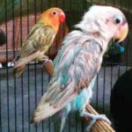 Kumpulan Gambar Cara Memandikan Malam Burung Lovebird Terbaru Beserta Suara Gacor Atau Ngekek Durasi Panjang Mp3 Dan Harga Termahalnya