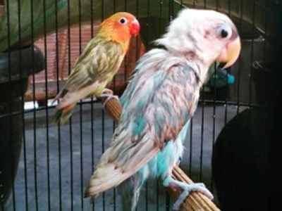 Ritual Cara Memandikan Burung Lovebird Agar Gacor Dan Ngekek Panjang