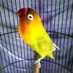 Kumpulan Gambar Cara Memaster Lovebird Pastel Ijo Atau Pasjo Terbaru Beserta Suara Gacor Atau Ngekek Durasi Panjang Mp3 Dan Harga Termahalnya