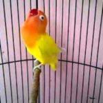 Kumpulan Gambar Cara Memaster Lovebird Paskun Atau Pastel Kuning Terbaru Beserta Suara Gacor Atau Ngekek Durasi Panjang Mp3 Dan Harga Termahalnya
