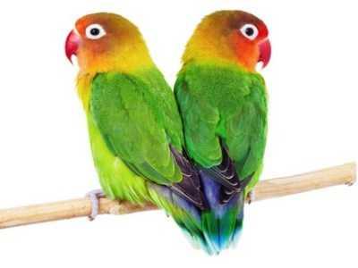 Koleksi Aneka Gambar Beserta Video Kumpulan Cara Membedakan Lovebird Jantan Dan Betina Gacor Atau Ngekek Panjang Untuk Beternak Maupun Kontes Lomba