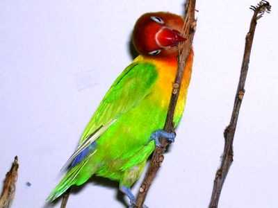 Kumpulan Beragam Gambar Dan Koleksi Aneka Video Tips Gambar Cara Mengatasi Lovebird Agresif Atau Menjadi Sangat Galak Agar Bisa Kembali Gacor Atau Ngekek Panjang