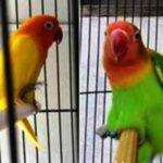 Kumpulan Gambar Cara Mengatasi Lovebird Gesek Maupun Mengawini Tangkringan Terbaru Beserta Suara Gacor Atau Ngekek Durasi Panjang Mp3 Dan Harga Termahalnya