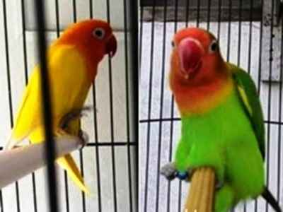 Kumpulan Beragam Tips Beserta Gambar Cara Mengatasi Lovebird Gesek Maupun Mengawini Tangkringan Gestang Terbaru Beserta Suara Gacor Atau Ngekek Durasi Panjang Mp3 Dan Harga Termahalnya