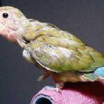 Kumpulan Gambar Dan Beragam Tips Video Bagaimana Cara Mengatasi Lovebird Yang Mencabuti Bulunya Sendiri Terbaru Beserta Suara Gacor Atau Ngekek Durasi Panjang Mp3 Dan Harga Termahalnya