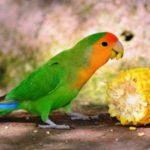 Aneka Kumpulan Beragam Gambar Maupun Video Tips Cara Mengatasi Loverbird Tak Mau Makan Buah Dan Sayur Agar Bisa Gacor Atau Ngekek Panjang
