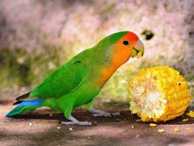 Aneka Kumpulan Beragam Koleksi Gambar Maupun Video Tips Cara Mengatasi Loverbird Tak Mau Makan Buah Dan Sayur Agar Bisa Gacor Atau Ngekek Panjang