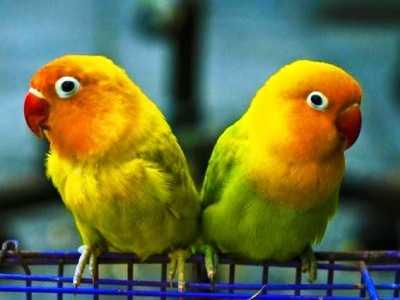 Kumpulan Beragam Gambar Atau Aneka Koleksi Video Cara Menjodohkan Lovebird Beda Warna Atau Umur Yang Baik Dan Benar Serta Mudah Dilakukan