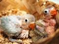Cara Merawat Anakan Lovebird Umur 3 Bulan Kebawah Untuk Lomba