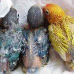 Kumpulan Panduan Gambar Beserta Video Gambar Cara Merawat Anakan Lovebird Violet Paskun Josan Dakocan Parblue Pastel Biru Cobalt Umur 3 Bulan Kebawah Untuk Lomba Dilapangan