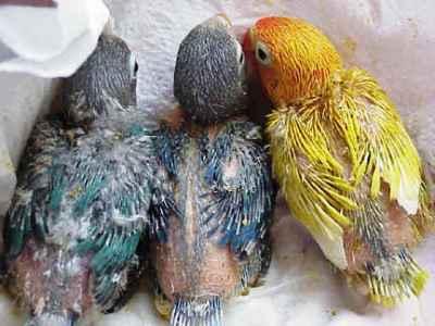 gambar perawatan anakan burung lovebird umur 3 bulan