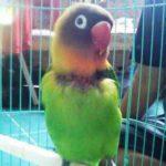 Kumpulan Gambar Cara Merawat Burung Lovebird Dakocan Mabung Terbaru Beserta Suara Gacor Atau Ngekek Durasi Panjang Mp3 Dan Harga Termahalnya