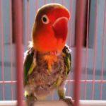 Kumpulan Gambar Cara Merawat Burung Lovebird Pastel Ijo Mabung Terbaru Beserta Suara Gacor Atau Ngekek Durasi Panjang Mp3 Dan Harga Termahalnya