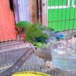 Kumpulan Gambar Cara Merawat Burung Lovebird Salem Mabung Terbaru Beserta Suara Gacor Atau Ngekek Durasi Panjang Mp3 Dan Harga Termahalnya