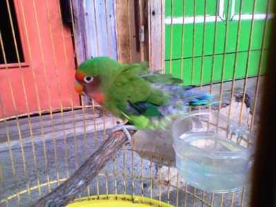 Cara Merawat Burung Lovebird Mabung Atau Mengalami Bulu Rontok
