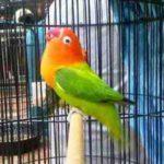 Kumpulan Gambar Cara Merawat Lovebird Biar Cepat Dan Rajin Ngekek Panjang Terbaru Terbaru Beserta Suara Gacor Atau Ngekek Durasi Panjang Mp3 Dan Harga Termahalnya