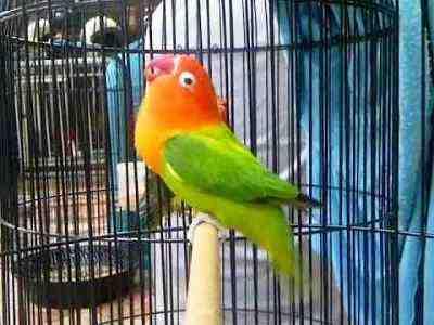 Kumpulan Gambar Cara Merawat Lovebird Biar Cepat Dan Rajin Gacor Terbaru Beserta Suara Ngekek Durasi Panjang Mp3 Dan Harga Termahalnya