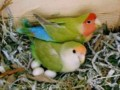 Cara Merawat Lovebird Pada Masa Bertelur Mengeram Dan Menetas