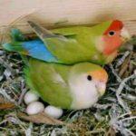 Kumpulan Beragam Gambar Maupun Video Cara Merawat Indukan Lovebird Pada Masa Bertelur Hingga Menetas Dan Meloloh Terbaru