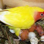 Beragam Gambar Maupun Video Beserta Tips Cara Merawat Indukan Burung Lovebird Pada Masa Menetas Hingga Meloloh Terbaru