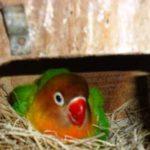 Kumpulan Beragam Gambar Beserta Aneka Koleksi Video Tips Cara Merawat Lovebird Pada Masa Mengeram Hingga Menetas Terbaru