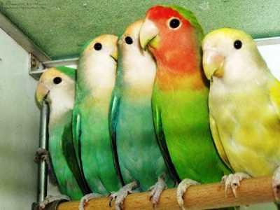 Beragam Kumpulan Aneka Rahasia Video Beserta Gambar Cara Mudah Membedakan Lovebird Klep Dan Non Klep Atau Barong Terbaru