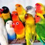 Kumpulan Aneka Gambar Beserta Video Serta Panduan Beragam Gambar Cara Mudah Mendapatkan Variasi Warna Lovebird Dengan Kawin Silang Terbaru
