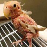 Kumpulan Gambar Cara Mudah Mengatasi Lovebird Rontok Bulu Terbaru Beserta Suara Gacor Atau Ngekek Durasi Panjang Mp3 Dan Harga Termahalnya