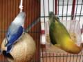 Tips Cara Mudah Mengatasi Lovebird Ngeruji Di Sangkar