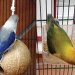 Kumpulan Beragam Gambar Maupun Video Tips Gambar Cara Mengatasi Burung Lovebird Ngeruji Di Sangkar Serta Macet Bunyit Terbaru