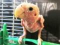 Cara Mengatasi Lovebird Botak Atau Mengalami Kerontokan Bulu