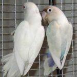 Kumpulan Gambar Burung Lovebird Albino Biru Terbaru Beserta Suara Gacor Atau Ngekek Durasi Panjang Mp3 Dan Harga Termahalnya