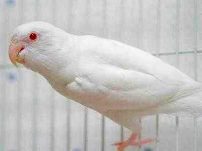 Kumpulan Aneka Koleksi Suara Gambar Burung Lovebird Albino Atau Pastel Putih Matah Merah Atau Hitam Biru MP3 Beserta Harga Termahalnya
