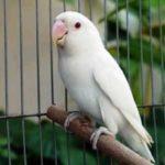 Kumpulan Gambar Burung Lovebird Albino Putih Terbaru Beserta Suara Gacor Atau Ngekek Durasi Panjang Mp3 Dan Harga Termahalnya