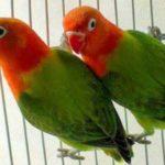 Kumpulan Gambar Burung Lovebird Biola Terbaru Beserta Suara Gacor Atau Ngekek Durasi Panjang Mp3 Dan Harga Termahalnya