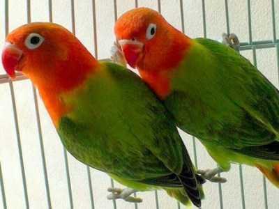 Kumpulan Aneka Koleksi Suara Gambar Burung Lovebird Biola Biru Ijo MP3 Beserta Harga Termahalnya