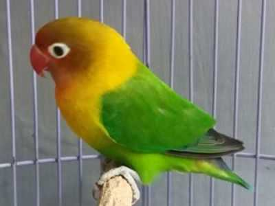 gambar burung lovebird biola ijo beserta harga terbaru