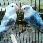 Kumpulan Gambar Burung Lovebird Blorok Biru Hitam Terbaru Beserta Suara Gacor Atau Ngekek Durasi Panjang Mp3 Dan Harga Termahalnya