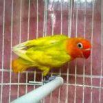 Kumpulan Gambar Burung Lovebird Blorok Lutino Terbaru Beserta Suara Gacor Atau Ngekek Durasi Panjang Mp3 Dan Harga Termahalnya