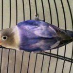 Kumpulan Gambar Burung Lovebird Blorok Violet Terbaru Beserta Suara Gacor Atau Ngekek Durasi Panjang Mp3 Dan Harga Termahalnya