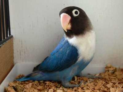 gambar burung lovebird cobalt super dijual terbaru