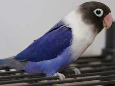 Kumpulan Aneka Koleksi Suara Gambar Burung Lovebird Cobalt Biru Perso Osin Blue Series MP3 Beserta Harga Termahalnya