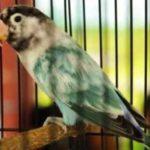 Kumpulan Gambar Burung Lovebird Euwing Biru Terbaru Beserta Suara Gacor Atau Ngekek Durasi Panjang Mp3 Dan Harga Termahalnya